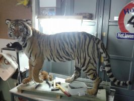 Mounted tiger taxidermy by Museumwinkel