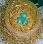 Robin Eggs by AncientEchidna