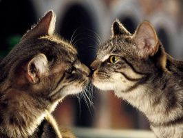 cat kiss by Nonsze