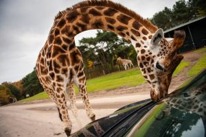 Giraffe Cleaning My Car by nairadan