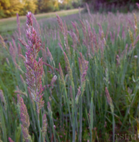 Lavender Grass by root-for-theUNDERDOG