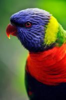 Lorikeet by sagtts