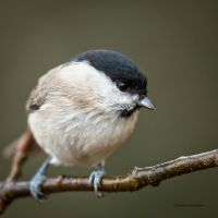 Close to a Marsh tit by roisabborrar