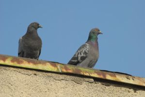 pigeons 3 by deepest-stock