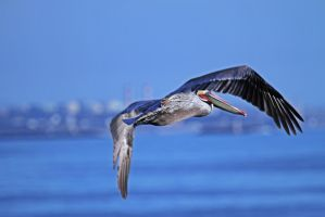 Pelican in flight! by WesHPhotography