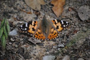 Painted Lady (1) by Blicrowave-Bloven