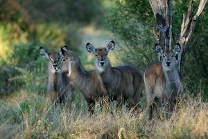 Waterbuck in Botswana by EyeOfBoa