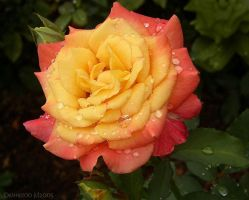 Rainy day rose III by desmo100