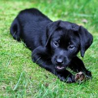 black lab puppy with pine cone by Mjag