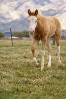 Bald faced filly 5 STOCK by Misc-Photography