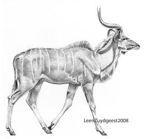 Greater kudu 02 by LeenZuydgeest