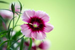 Dianthus Again by justanewb42