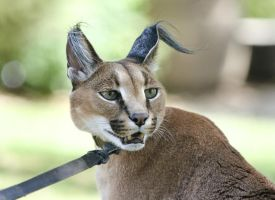 Caracal by rainylake