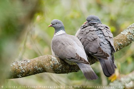 Wood Pigeons by linneaphoto