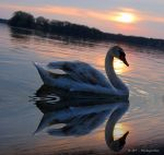 swan romance 11 by MT-Photografien