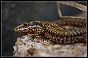 Wall Lizard Series III by ValdesBG
