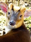 Why, Yes, I am a Muntjac by soyrwoo