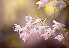 .:Orchid Dream II:. by RHCheng