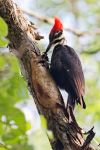 Pileated Woodpecker by Jay-Co