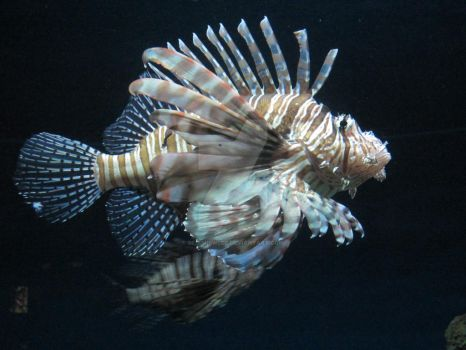 Lionfish by geminiswede