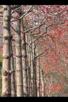 Red Cotton Tree Road by johnchan