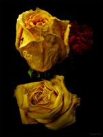 Old Yellow Roses by ToysoldierThor