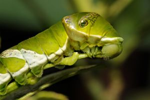 Swallowtail Butterfly Caterpillar 1 by s-kmp