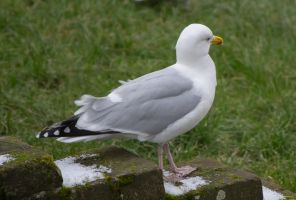 European Herring Gull by jensen-nicole