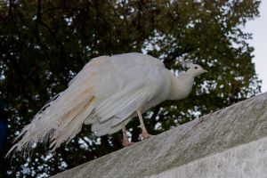 White Peacock by Valadj