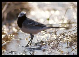 White Wagtail 2 by katerina-m