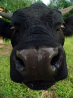 Hello Cow. by Man-Upstairs