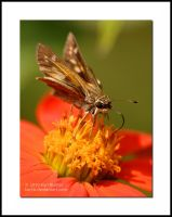 Skipper on Sunflower 2 by Karl-B