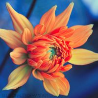 dahlia II by illusionality