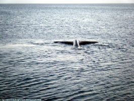 Southern Right Whale - caudal fin VI by Cansounofargentina