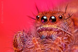 Jumping Spider HDR by deanreevesii