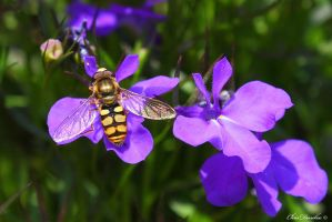 Lobelia Hoverfly by ChrisDonohoe