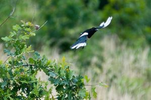 Magpie in Flight by amrodel