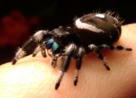 Sting the jumping spider by TheTyro