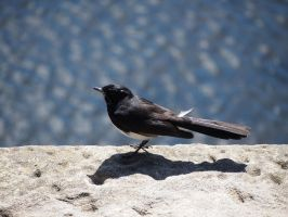 Willy Wagtail by JolanthusTrel