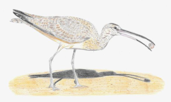 Whimbrel by DiegoOA