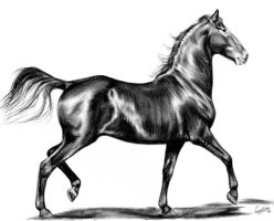 Marwari horse, charcoal sketch by Tinesdierportretten