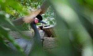 West African Black-Crowned Crane by PinchOfPixelDust