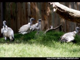 Vultures - St. Augustine by Toxic-Muffins-Studio
