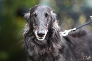 borzoi by Wolfruede