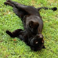 black jaguar15 by redbeard31