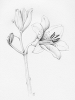 Lily by Arabidopsis