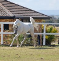 GE Arab white head tucked in trot by Chunga-Stock