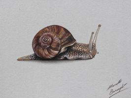 Snail DRAWING by Marcello Barenghi by marcellobarenghi