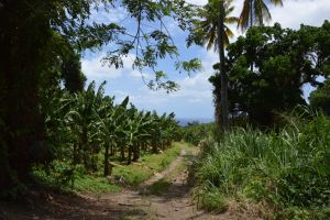 Way of banana plantation of ST Pierre by A1Z2E3R