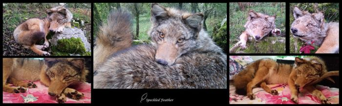 Female XL Coyote by Speckled-Feather